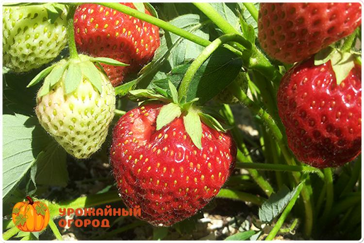 ягода клубники