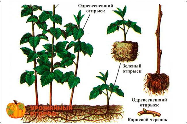 как растёт малина