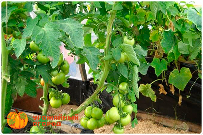 ветка помидоров