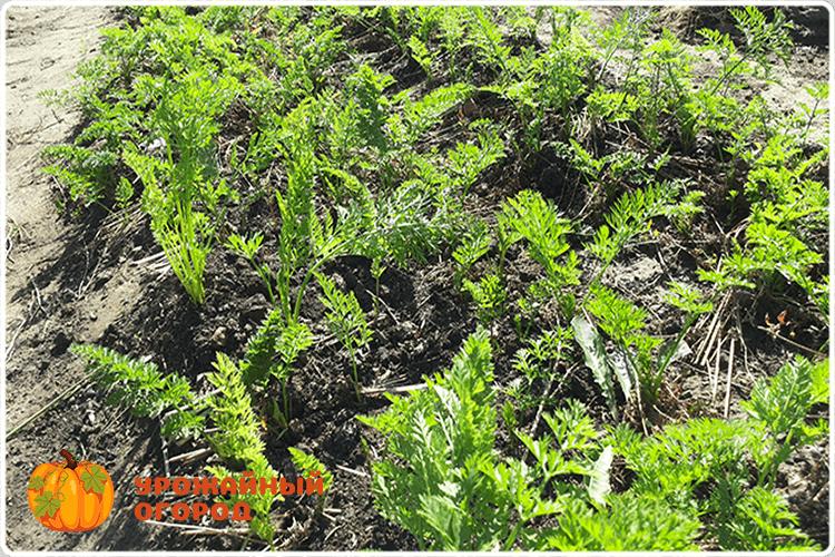 морковь перед сбором