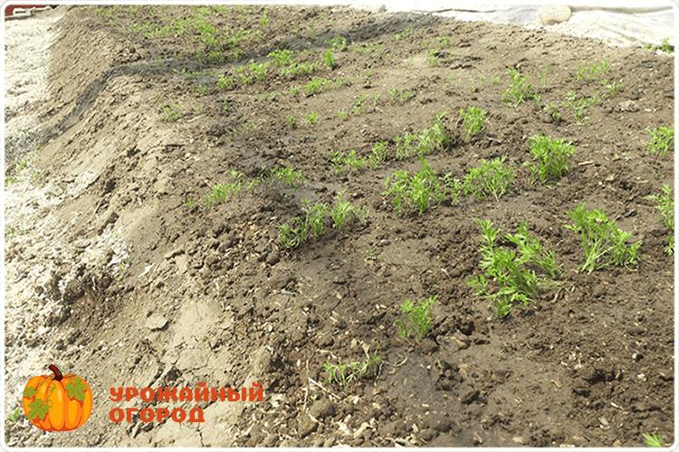 политая морковь