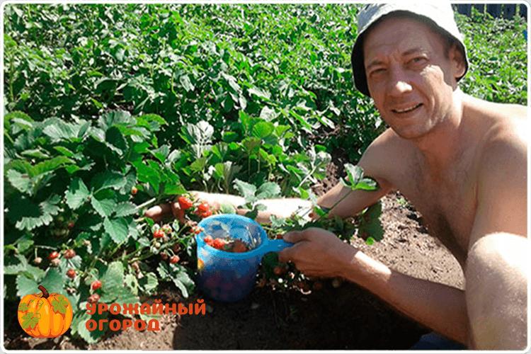 буянов олег собирает клубнику
