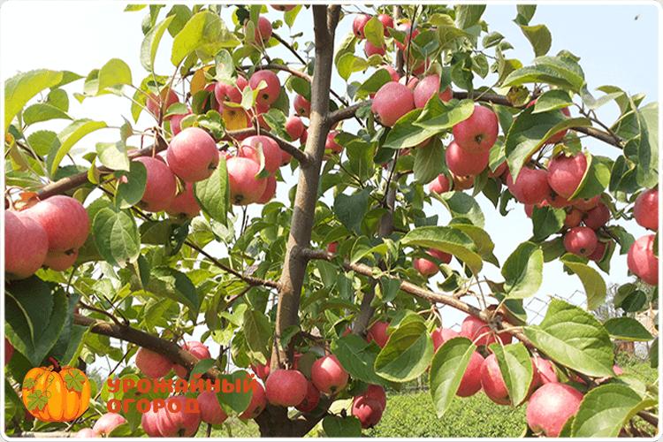 куст яблони
