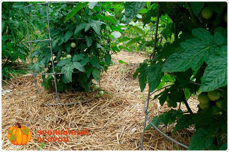 мульча помидоров