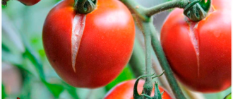 треснутые помидоры