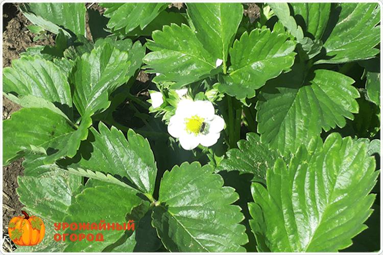 цветок клубники