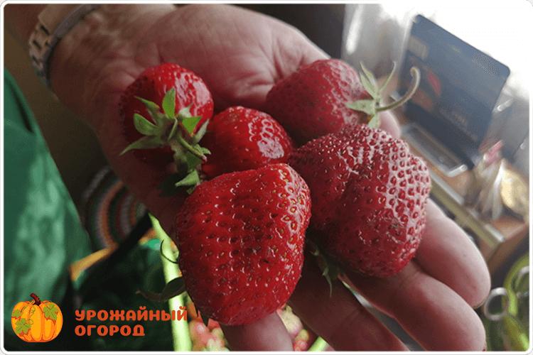 клубника ягода размер