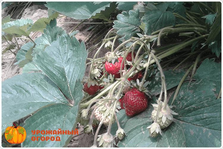 ветка клубники с ягодами